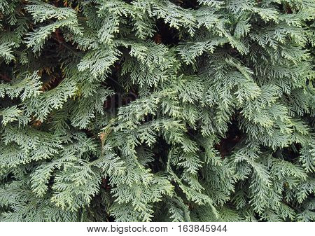 Plant of evergreen  Thuja  as natural background