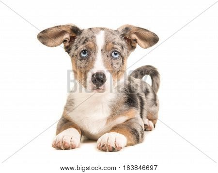 Cute blue merle welsh corgi puppy with blue eyes and hanging ears lying down facing the camera seen from the front isolated on a white background