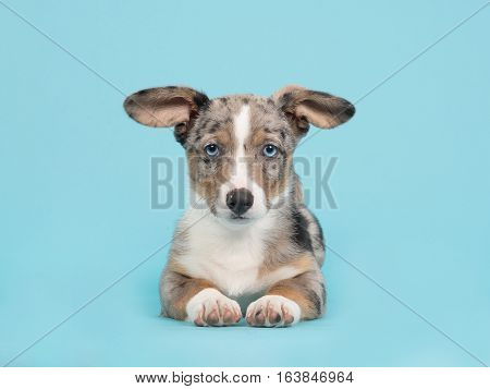 Cute blue merle welsh corgi puppy with blue eyes and hanging ears lying down facing the camera seen from the front on a blue background