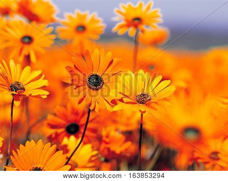 beauty in nature black eyed Susan flowers