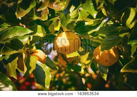 Photo of Persimmon Fruit Harvest at Tree