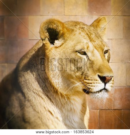 Photo of Rest Lion Portrait in Sunny day