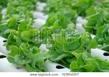 Organic hydroponic vegetable farm healthy vegetable hydroponic conceptagricultural industry concept.
