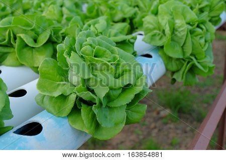 Organic Hydroponic Vegetable Farm Concept