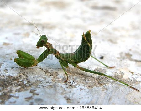 a magnificent green praying mantis insect on white stone
