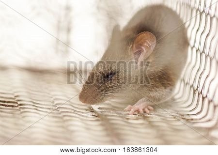 Closeup of a mouse in a cage trap