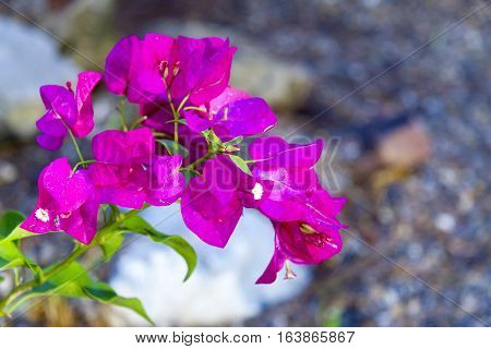 Bougainvillea blooming beautiful on green leaf and blur background