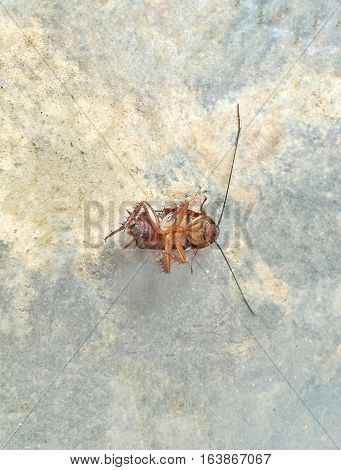 Close up picture of a dead cockroach on cement floor background.