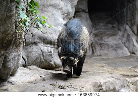 A Visayan warty pig walking on the rocks