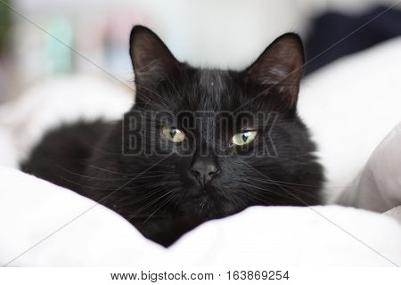 a handsome long haired black domestic cat