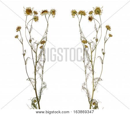 Pressed Dried branch of chamomile drug isolated. Herbarium of wild flowers. The front side and the back side.