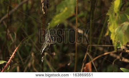 A spider clings to his web in the tall grass.