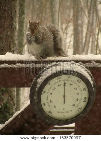 Grey squirrel eating birding during a snowstorm above an outdoor thermometer