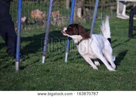 Working Type English Springer Spaniel Pet Gundog Agility Weaving