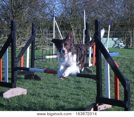 Handsome Springer Collie Cross Pet Dog Jumping An Agility Jump