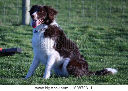 Handsome brown and white springer collie cross pet dog