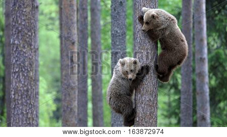 Two European brown bear (Ursus arctos) cubs climbing pine tree in taiga forest Martinselkonen Finland June