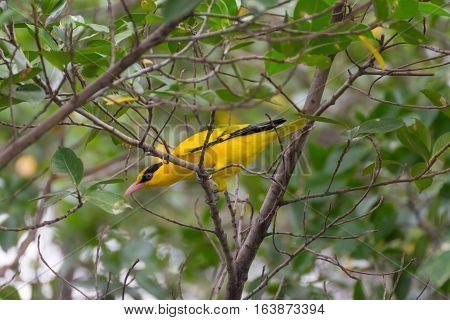 Bird (black-naped Oriole) On A Tree