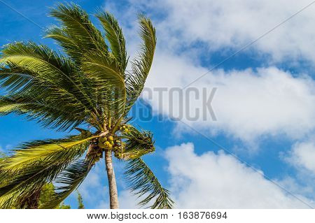 Palm tree in the tropical breeze with blue cloudy sky in the background