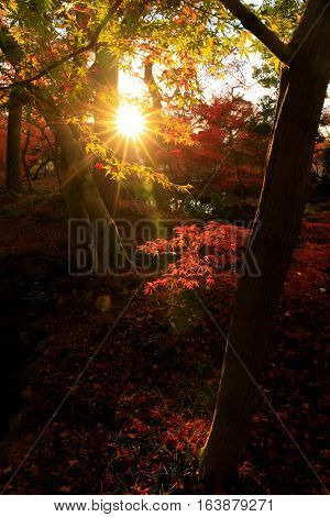 Silhouette of red maple autumn leaves with lens flare