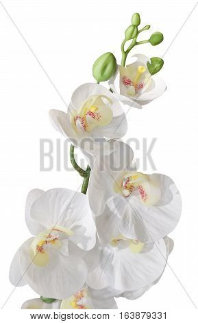 Flower and Plant White Artificial Phalaenopsis or Orchid Flower Streak Isolated on White Background for Home and Building Decoration.