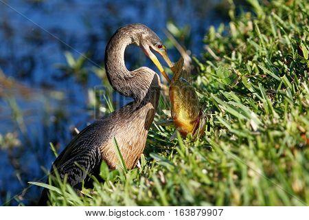 Anhinga (Anhinga anhinga) eating fish on a grass