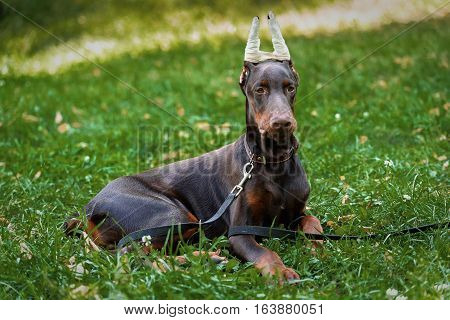 Puppy of a Dobermann terrier on walk in the park in the summer