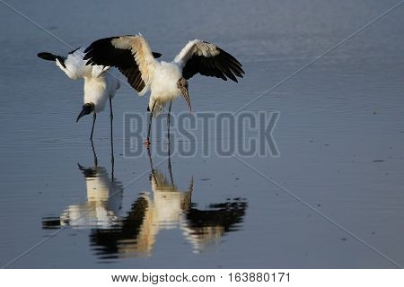 Wood stork (Mycteria americana) spreading wings, reflected in water