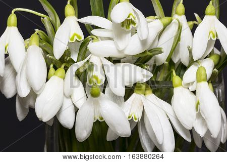 Bouquet of white flowers of snowdrops isolated on black background.