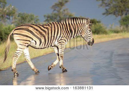 Plains zebra [Equus quagga] walking on wet road