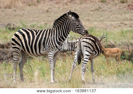 Plains zebra(Equus quagga) grooming each other in pilanesberg national park