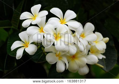 White plumeria flowers on a tree, with dark background