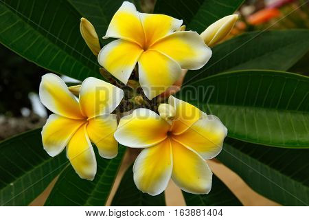 Close-up of Yellow plumeria flowers on a tree