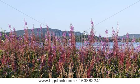 Fireweed, flowers along the riverside. Vegetation, grass this side. Hills and village in the background.