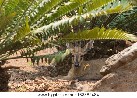 Common duiker (Sylvicapra grimmia) resting in the shade of a cycad tree
