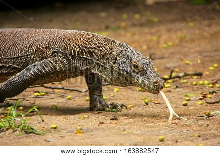 Komodo Dragon Walking On Rinca Island In Komodo National Park, Nusa Tenggara, Indonesia