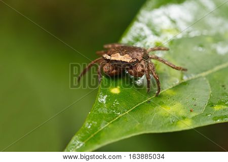 Forest Crab Or Forest Tree Climbing Crab Madagascar
