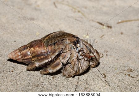 Big Hermit Crab With Snail Shell Madagascar