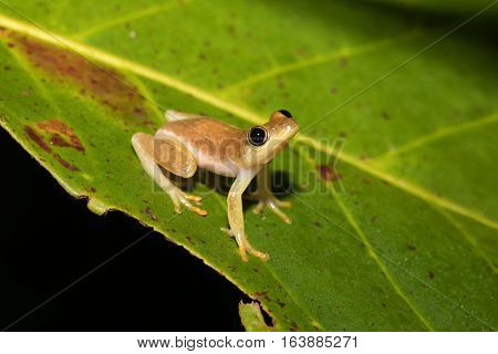 Small Yellow Tree Frog From Boophis Family, Madagascar