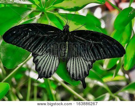 Wide open wings of a black butterfly