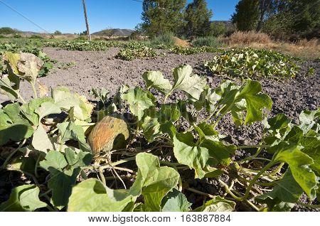 Bed of melons in a vegetable garden in Ciudad Real Province, Spain