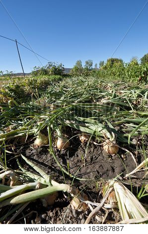 Bed of onions after stepping on them in a vegetable garden in Ciudad Real Province, Spain