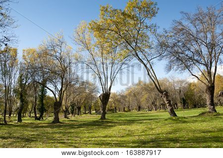 Ash tree grove in Soto del Real Madrid Province Spain