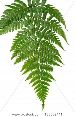 Leaf Fern Isolated On White Background