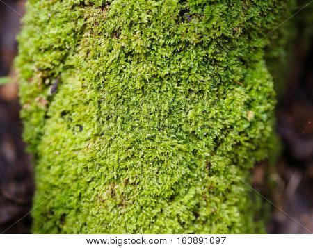 Nice Green moss on old root tree texture background and closeup focus at center of the root tree