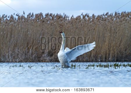 mute swan on blue lake flutters, great white bird, storm, cloudy skies