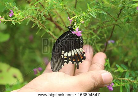 Butterfly resting in safe hand and sucking honey