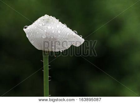White Poppy In Rain