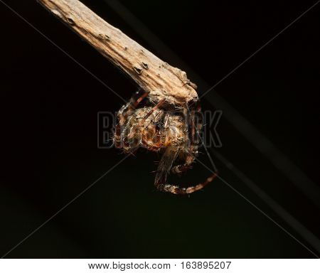 Spider Cling To Twig