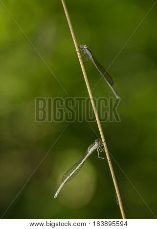 Two Dragonflies On Twig